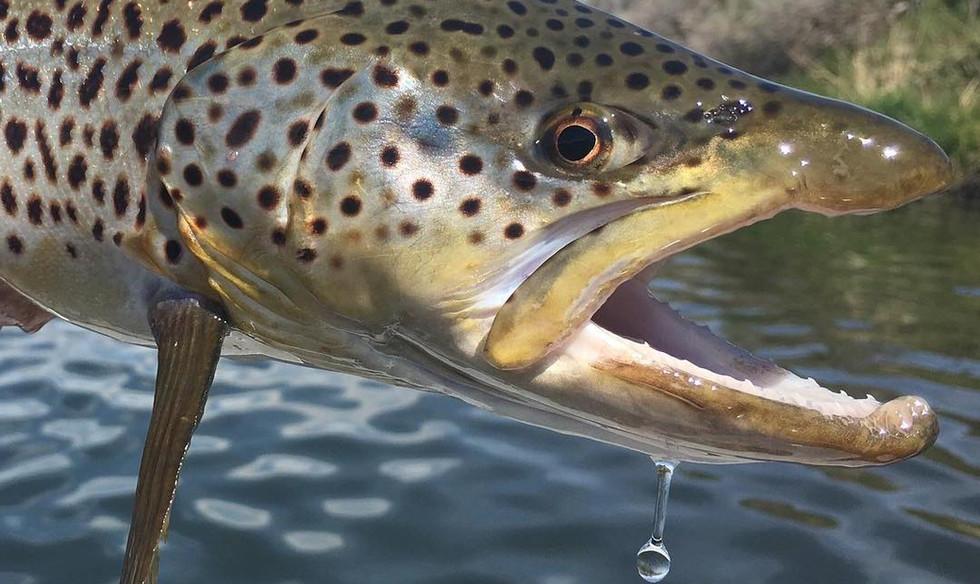 wyoming brown trout.jpg