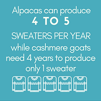 Alpacas+can+produce+4+TO+5+SWEATERS+PER+