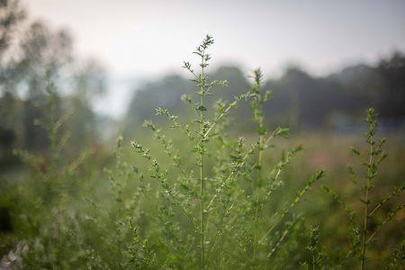 Une plante à découvrir : Artemisia Annua