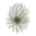 Pine Spruce Branches  3