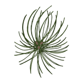 Rami di pino Abete 3