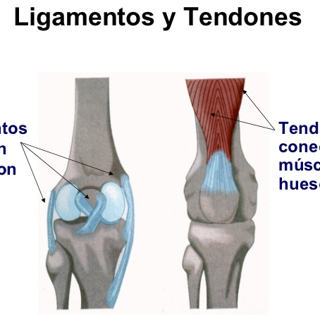 ¿Cuál es la diferencia entre Tendones y Ligamentos?