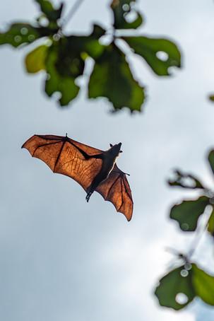 Flying fox around Kandy