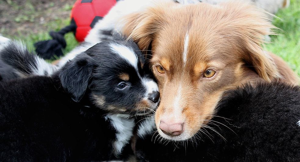 mini aussie, mini american, miniature american shepherd, mini american shepherd, mini aussies, uk, mini australian shepherd, miniature australian shepherd, dunnellons mini aussie and miniature american shepherds, puppies, planned litter, breeder, agility