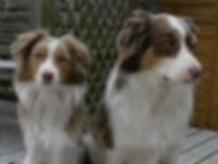 mini american, mini aussie, miniature american shepherd, mini american shepherd, mini aussies, uk, mini australian shepherd, miniature australian shepherd, dunnellons mini aussie and miniature american shepherds, puppies, planned litter, breeder, agility