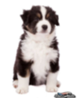 mini aussie, miniature american shepherd, mini american shepherd, mini aussies, uk, mini australian shepherd, miniature australian shepherd, dunnellons mini aussie and miniature american shepherds, puppies, planned litter, breeder, agility, mini american