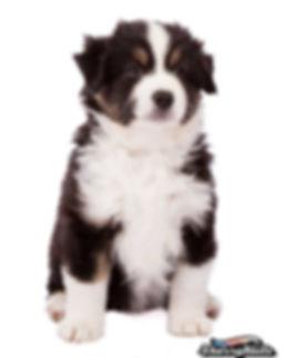 mini aussie, miniature american shepherd, mini american shepherd, mini aussies, uk, mini australian shepherd, miniature australian shepherd, dunnellons mini aussie and miniature american shepherds, puppies, planned litter, breeder, agility, mini american