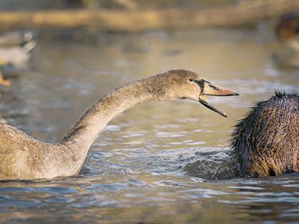 Sobecká labuť