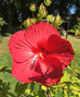 gorgeous giant hibiscus