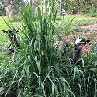 Mork and Mindy happily foraging in the garden