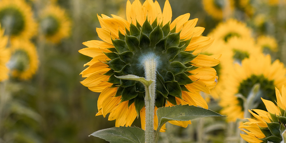 6:00 pm, Aug 14th - Richmond Sunflower Viewing