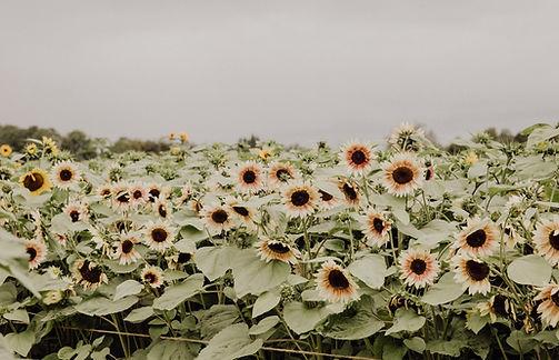 SunFlower-32_edited_edited.jpg