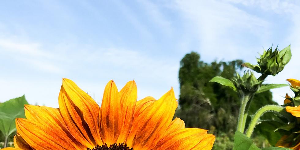 12:30 pm, Aug 28th - Richmond Sunflower Viewing