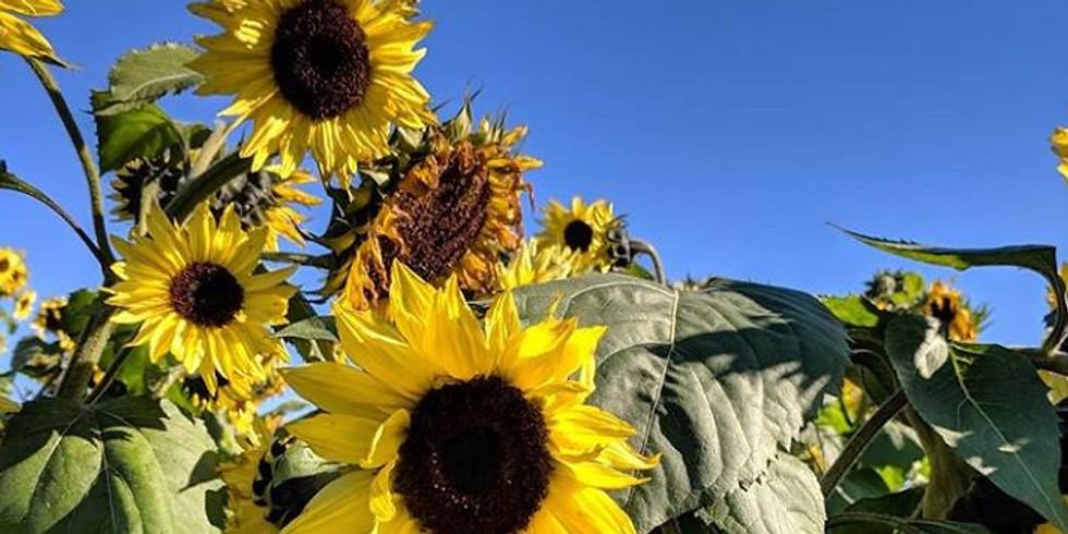 2 pm, August 29th - Richmond Sunflower Festival