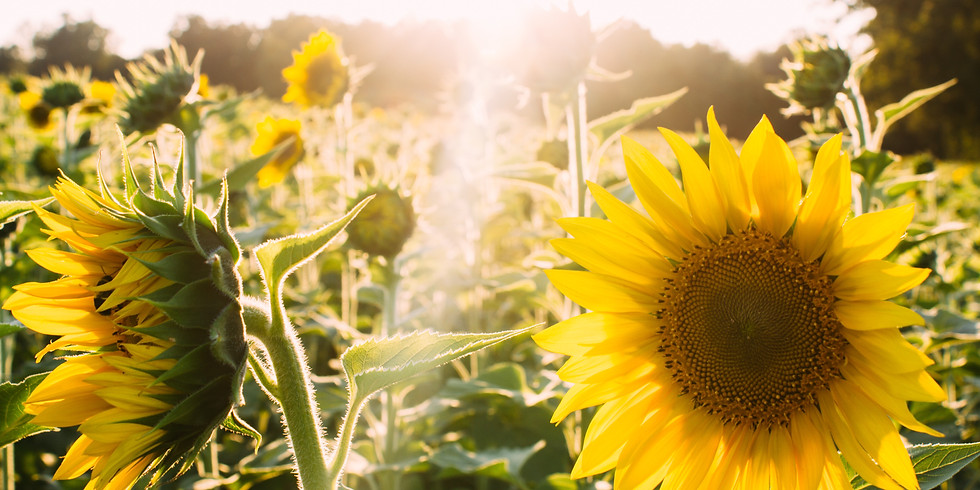 2:30 pm, Aug 10th - Richmond Sunflower Viewing
