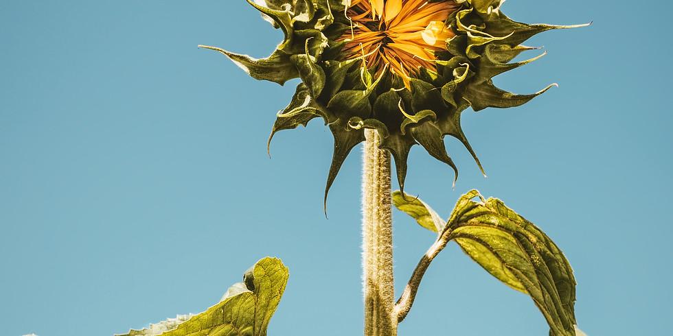 4:00 pm, Aug 21st - Richmond Sunflower Viewing