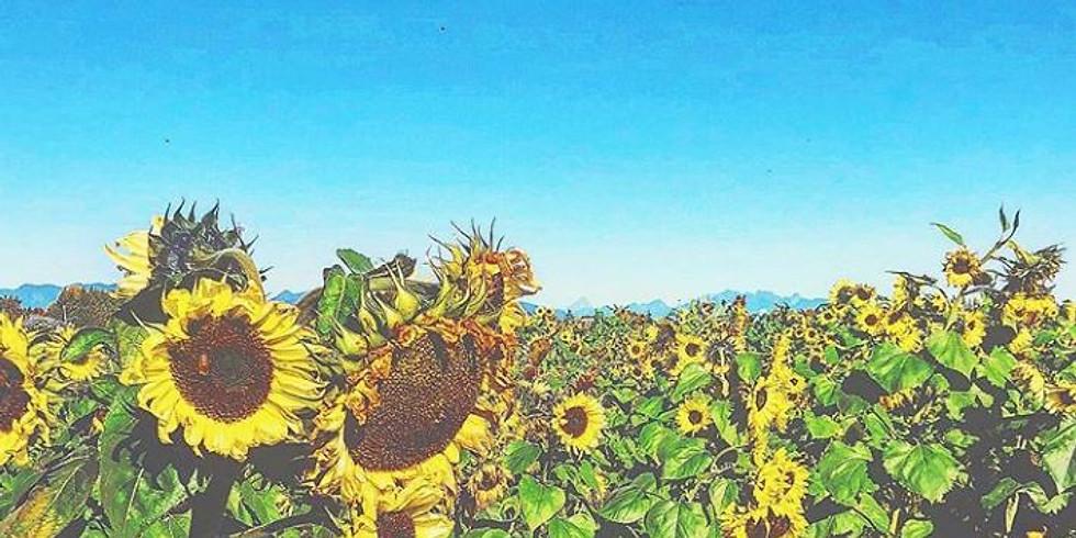 1:30 pm, Aug 13th - Richmond Sunflower Viewing