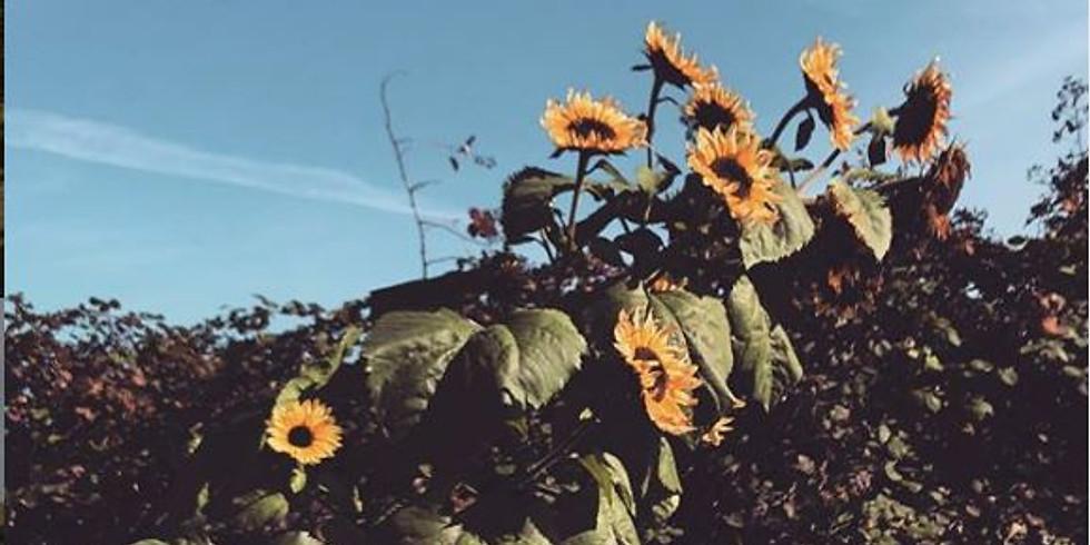 9:00 am, Aug 23rd - Richmond Sunflower Viewing
