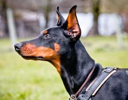 Incr_Canines_Schutzhund-359.jpg