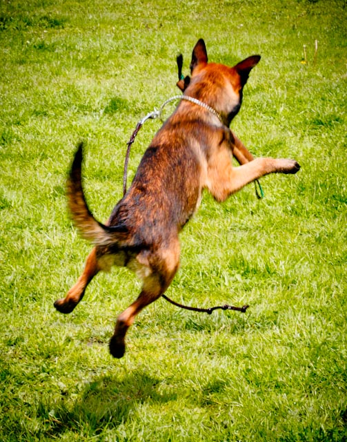 Incr_Canines_Schutzhund-170.jpg