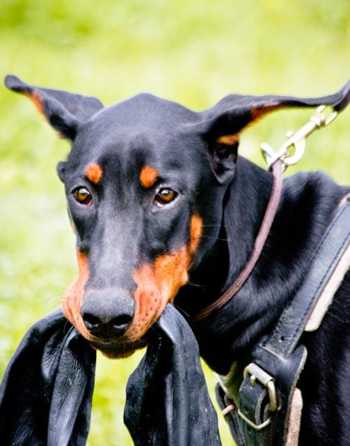 Incr_Canines_Schutzhund-344.jpg