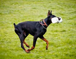Incr_Canines_Schutzhund-237.jpg