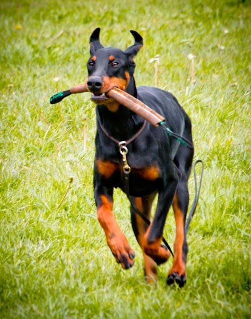 Incr_Canines_Schutzhund-113.jpg