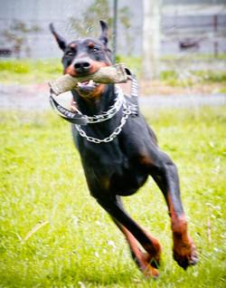 Incr_Canines_Schutzhund-284.jpg