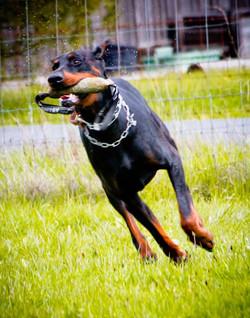 Incr_Canines_Schutzhund-219.jpg
