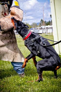 Incr_Canines_Schutzhund-452.jpg