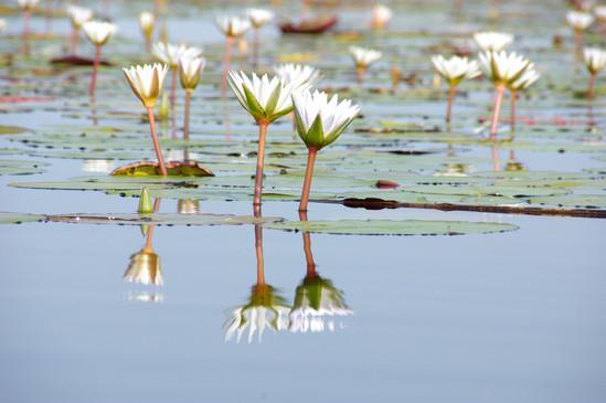 Botswana Water Lilies