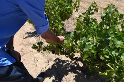 Cloof Harvest 2017 Pinotage