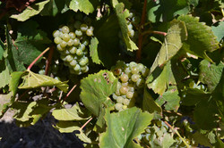 Cloof Harvest 2017\ Chardonnay