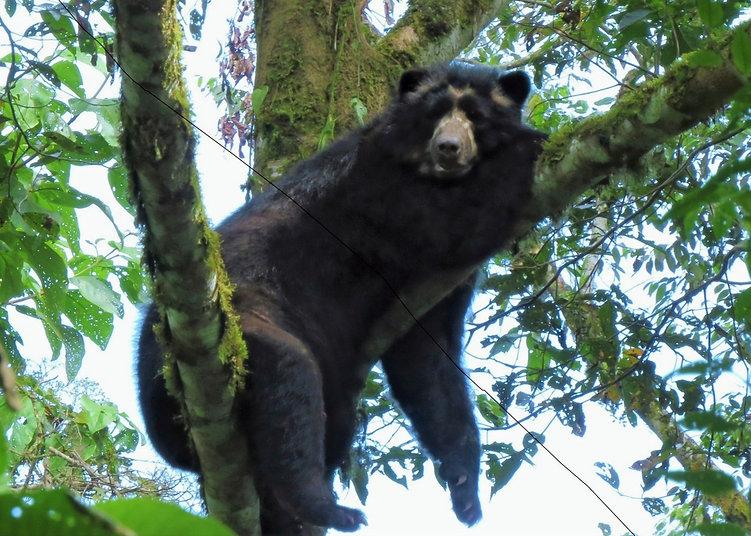 2020 maquipucuna andean bear.jpg