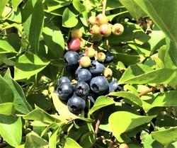 自家栽培の果実