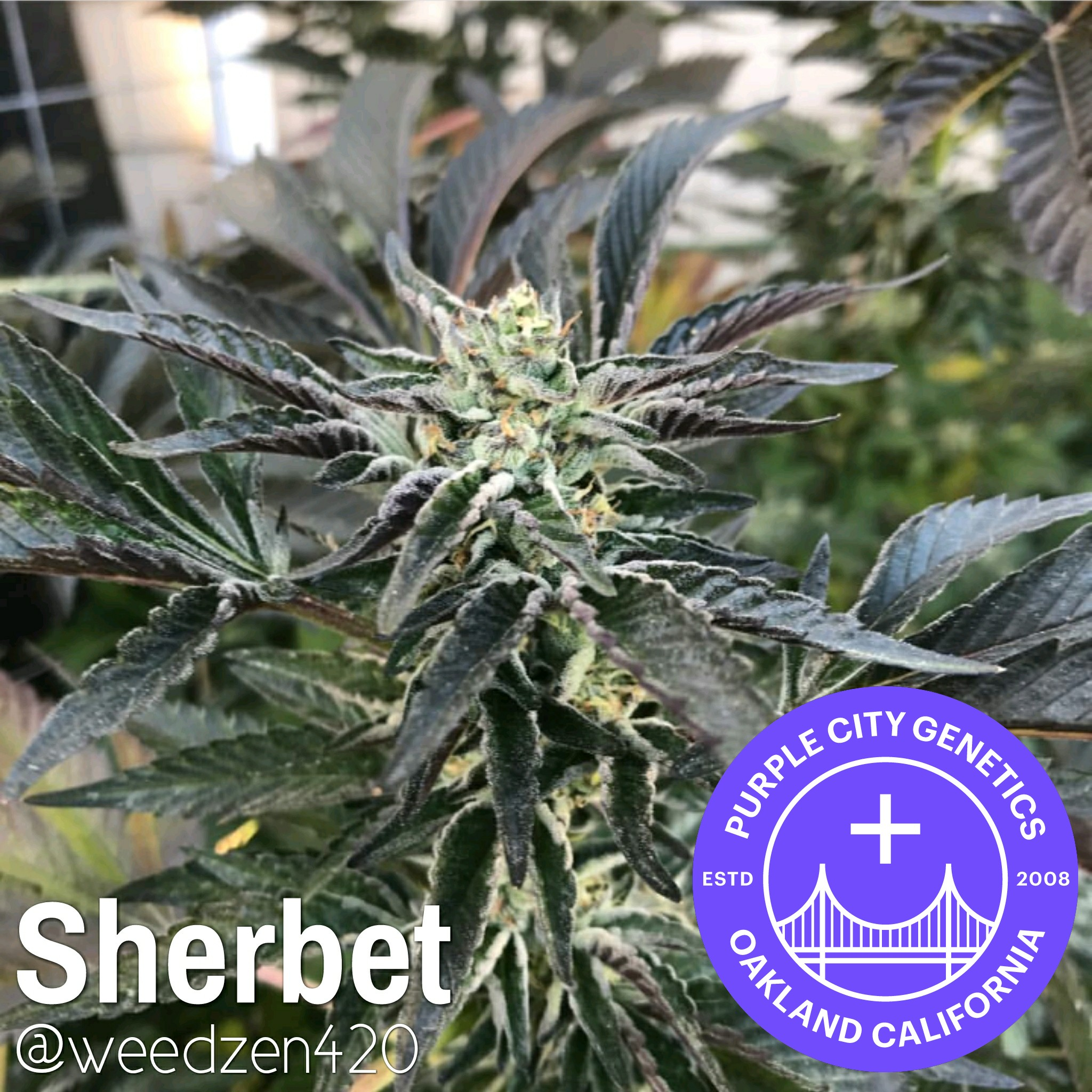 Purple City Genetics Sherbet