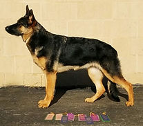 UKC Champion German Shepherd