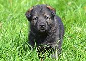 Geman Shepherd Puppies for Sale
