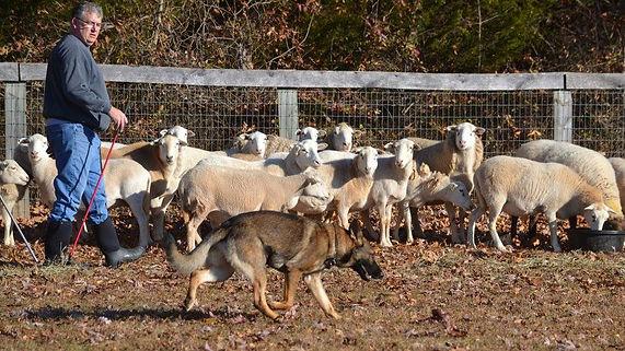 Loki Herding 1.jpg