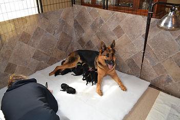 German Shepherd Puppies Maryland