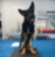 10 mo - feb 2019 - Buzz AKC Trick Dog No