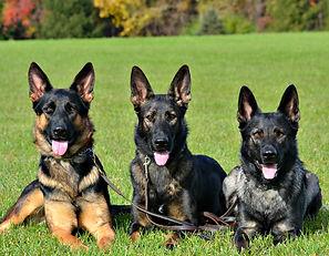 Haus Morrisson German Shepherds Puppies For Sale