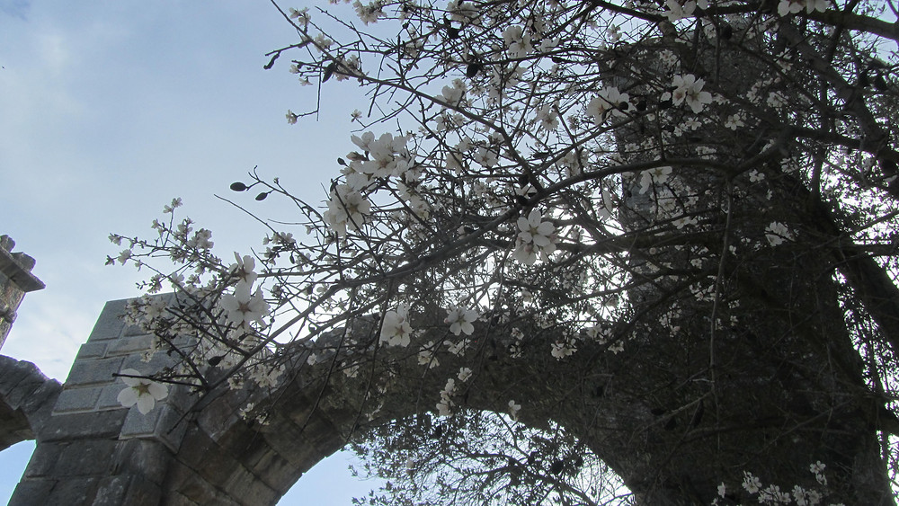 Almond blossoms and the aqueduct in Moria photo: Andrea Sarris
