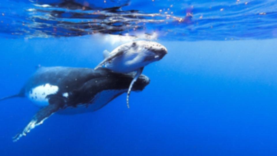 whal mooea baleine moorea deep blue