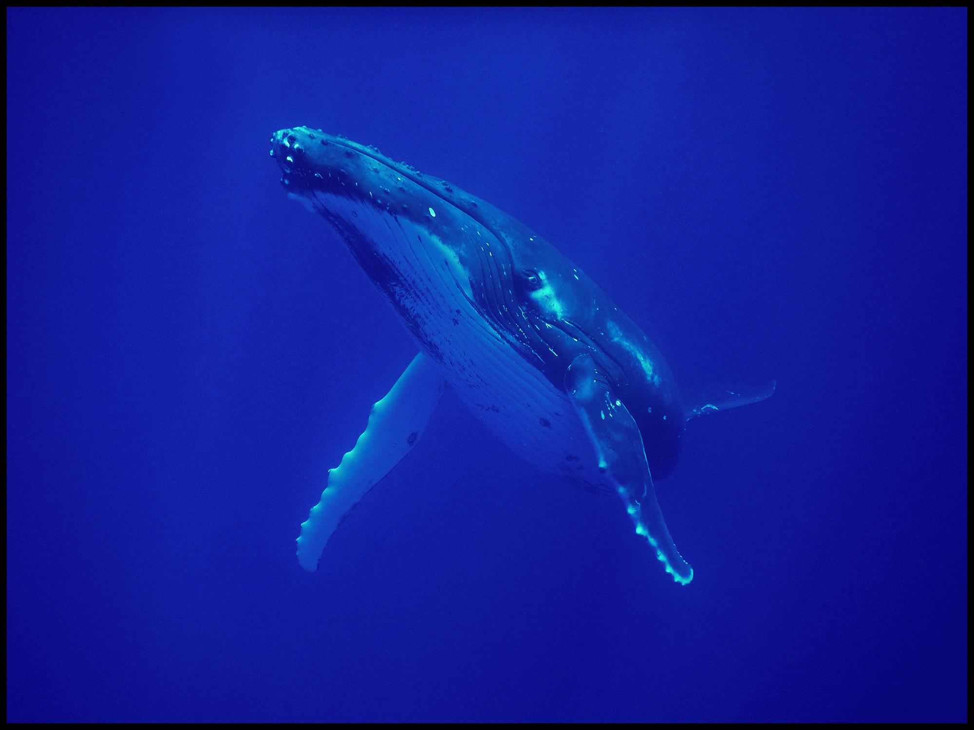 Moorea whale