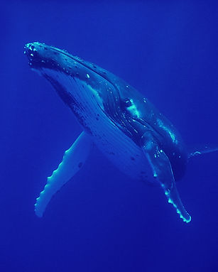 Moorea Deep Blue Baleine Whale