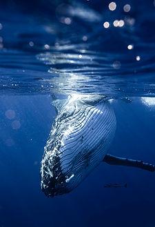 Moorea baleine