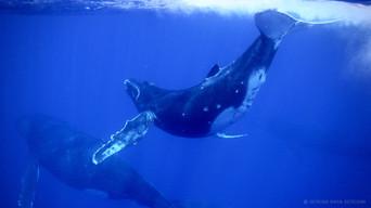 Whale Moorea
