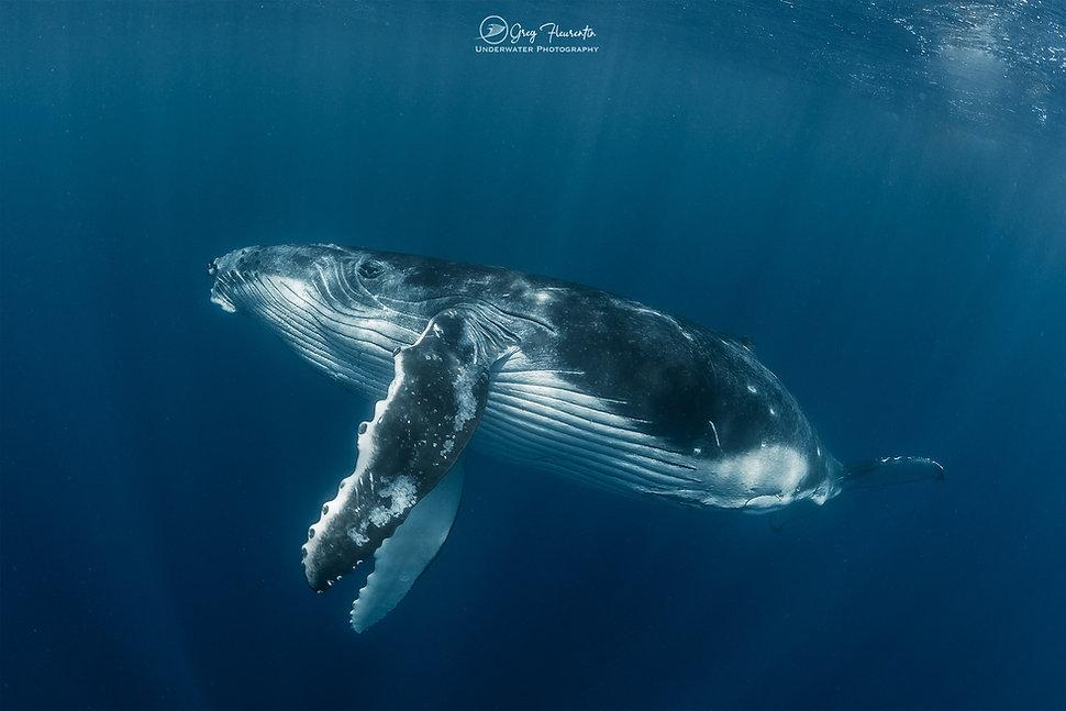 20200928 Greg 03.jpg / Baleine / whale