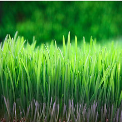 Wheatgrass_Nature_92e02a8a-d67e-40d2-a0d